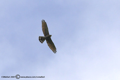 Grey Faced Buzzard (Butastur indicus)