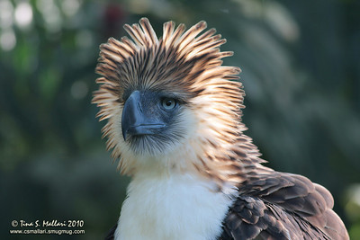 Philippine Eagle (pithecophaga jefferyi) a Philippine endemic (captive bird at the Phil. Eagle Foundation)