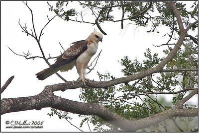 Philippine Hawk-Eagle (immature)