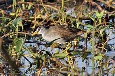 White-browed Crake (Porzana cinerea)