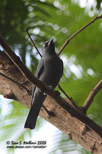 Bar-bellied Cuckoo Shrike (Coracina striata)