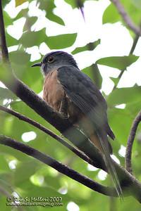 Brush Cuckoo (Cacomantis variolosus sepulcralis) adult