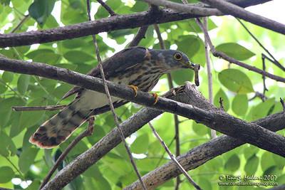 Philippine Hawk-Cuckoo (Cuculus pectoralis) Philippine endemic - immature