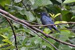 Philippine Drongo-cuckoo (Surniculus velutinus) Philippine endemic