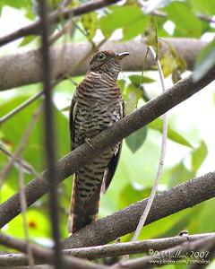 Brush Cuckoo (Cacomantis variolosus sepulcralis) immature