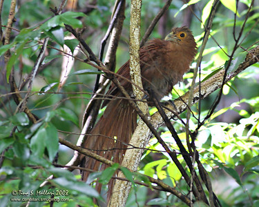 Rufous Coucal (centropus unirufus) Philippine Endemic