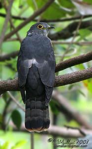 Philippine Hawk-Cuckoo (Cuculus pectoralis) Philippine Endemic