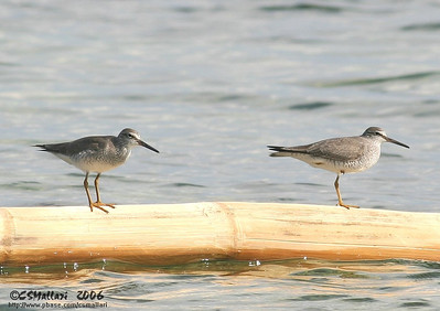 Grey Tailed Tattler (Heteroscelus brevipes)