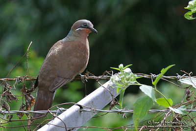 White-eared Brown-dove (Phapitreron leucotis) Philippine Endemic