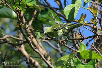Pompadour Green-Pigeon (Treron pompadora) female