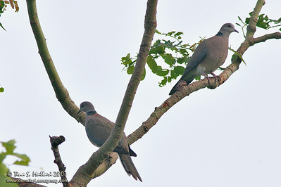 Island Collared Dove (Streptopelia bitorquata)