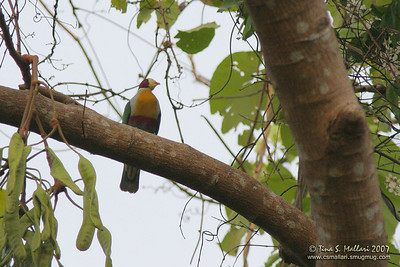 Yellow-breasted Fruit-Dove  (Ptilinopus occipitalis)