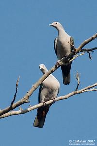 Green Imperial-Pigeon (Ducula aenea aenea)