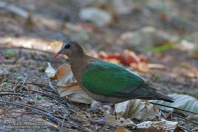 Common Emerald Dove (Chalcophaps indica)