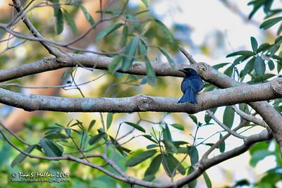 Balicassiao (Dicrurus balicassius) Philippine endemic