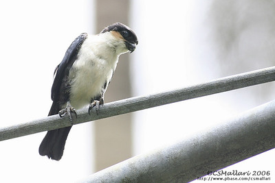 Philippine Falconet  (Microhierax erythrogenys erythrogenys) - Philippine endemic