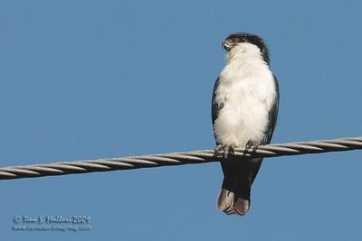Philippine Falconet (Microhierax erythrogenys erythrogenys) philippine endemic
