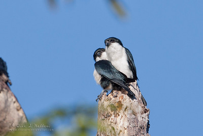 Philippine Falconet (Microhierax erythrogenys erythrogenys) Philippine Endemic