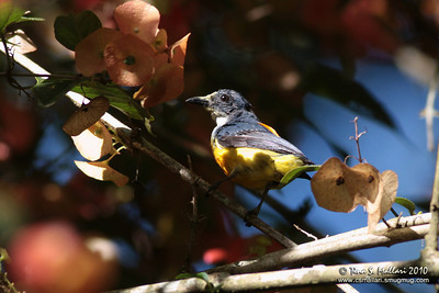 Orange-bellied Flowerpecker (Dicaeum trigonostigma)