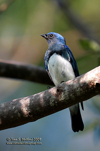 Blue and White Flycatcher (cyanoptila cyanomelana) male