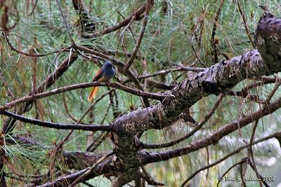 Blue-headed Fantail (Rhipidura cyaniceps) Philippine endemic
