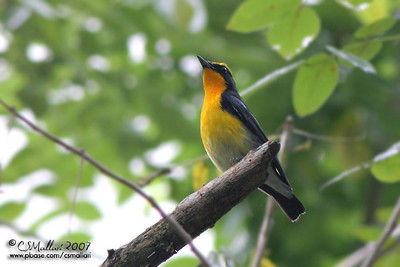 Narcissus Flycatcher (Ficedula narcissina) male