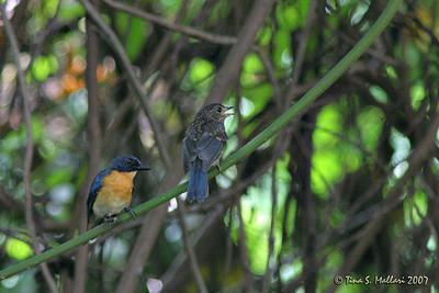 Mangrove Blue Flycatcher (Cyornis rufigastra blythi) (endemic race)