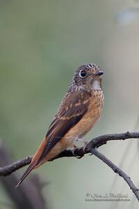 Ferruginous Flycatcher (Muscicapa ferruginea)