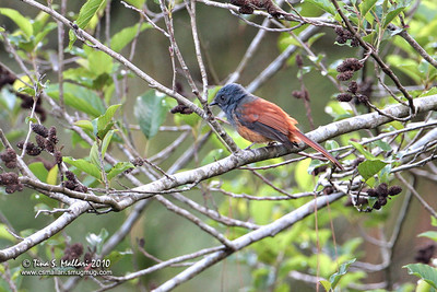 Blue-headed Fantail (Rhipidura cyaniceps) a Philippine Endemic