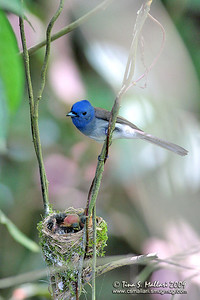 Black Naped Monarch (Hypothymis azurea)