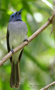 Black Naped Monarch (Hypothymis azurea) female