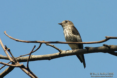 Grey-streaked Flycatcher (Muscicapa griseisticta)