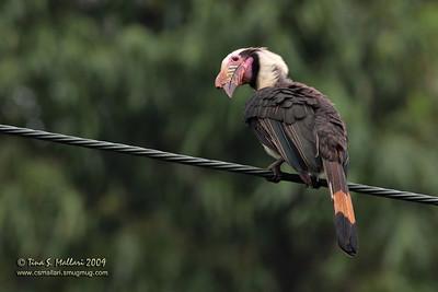 Tarictic Hornbill (Penelopides panini) Philippine Endemic