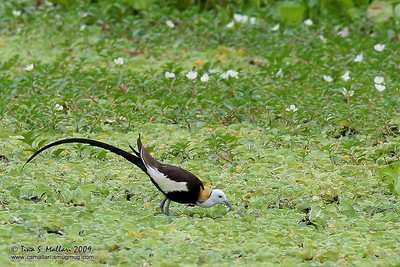 Pheasant-Tailed Jacana (Hydrophasianus chirurgus) In breeding plumage