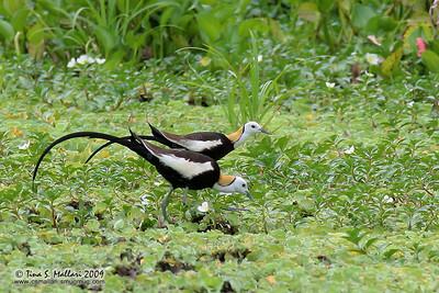 Pheasant-Tailed Jacana (Hydrophasianus chirurgus) In breeding plumage