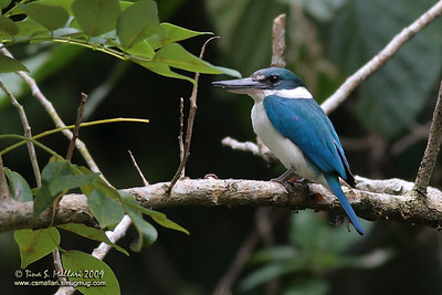 White Collared Kingfisher (Halcyon chloris)