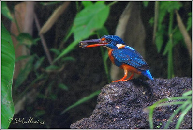 Indigo Banded Kingfisher