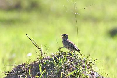 Singing Bushlark (Mirafra javanica philippinensis)