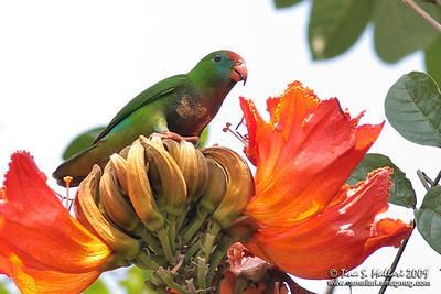 Colasisi (Loriculus philippensis) Philippine Endemic