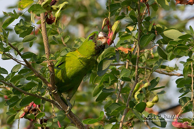 Blue-Naped Parrot Guaiabero (Bolbopsittacos lunulatus) a Philippine endemic