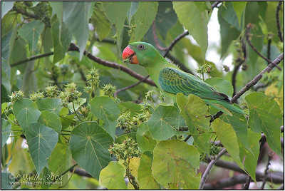 Blue Naped Parrot (Tanygnathus lucionensis) a near Philippine Endemic