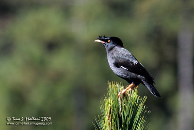 Crested Mynah (Acridotheres cristatellus)