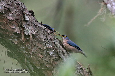 Sulphur-billed Nuthatch (Sitta oenochlamys isarog) a Philippine Endemic