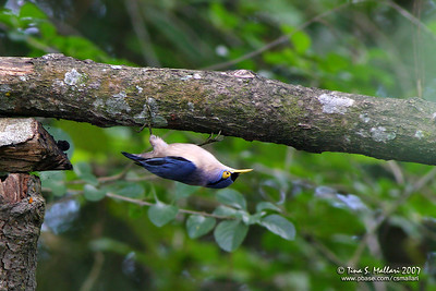 Sulphur-billed Nuthatch (Sitta oenochlamys isarog) - Philippine endemic