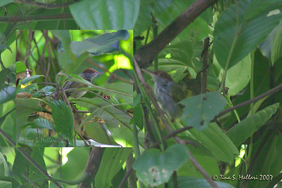 Grey-backed Tailorbird (Orthotomus derbianus) Philippine endemic