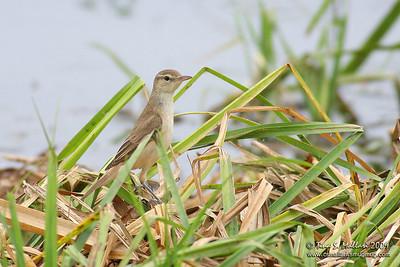 Clamorous Reed Warbler (Acrocephalus stentoreus)