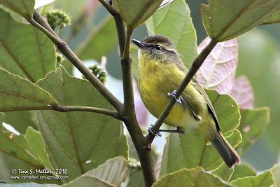 Mountain Leaf-Warbler (Phylloscopus trivirgatus benguetensis)