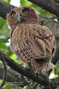 Philippine Eagle Owl (Bubo philippensis) Philippine Endemic
