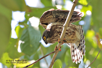 Brown Hawk Owl (Ninox scutulata)