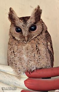 Philippine Scops Owl (Otus megalotis) Philippine Endemic